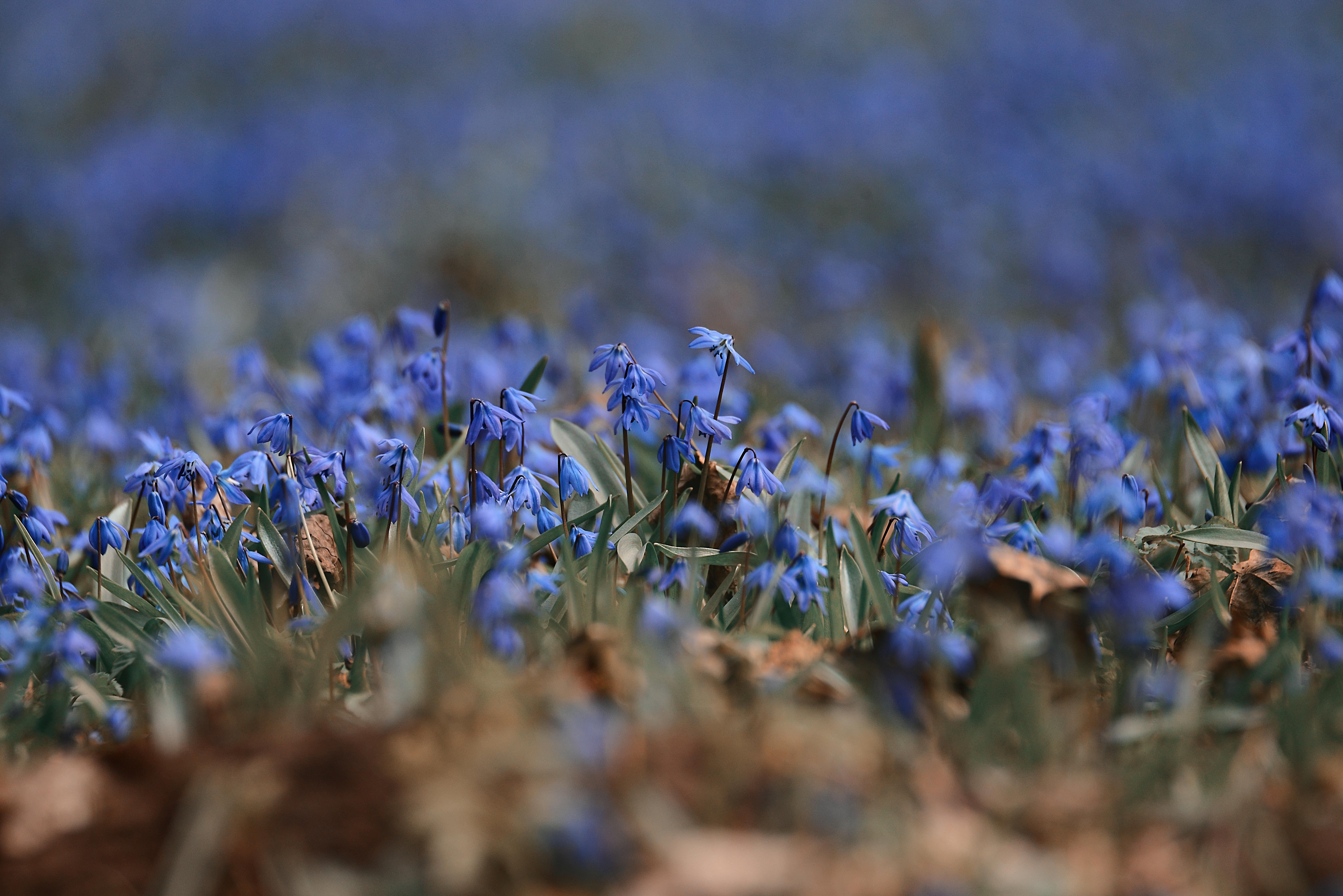 Pavasara puķes - zilsniedzītes - tuvplānā